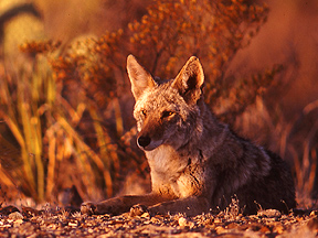 Coyote Big Bend National Park